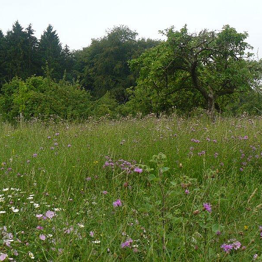 artenreiche Obstwiese bei Oberdollendorf