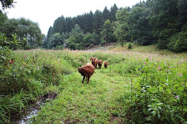 2016: Beweidungsbeginn wegen massivem Indischen Springkraut Bestand in Hennef