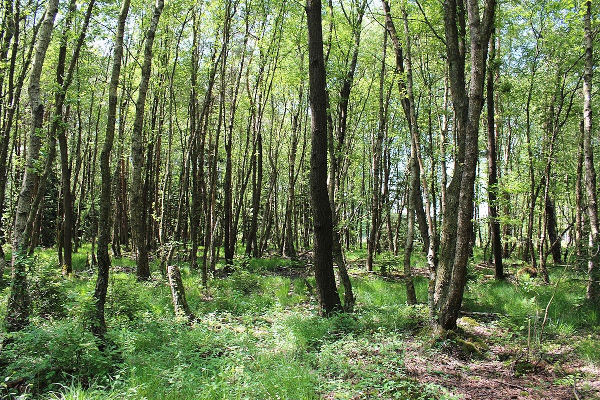 Wertvoller Birken/Erlen-Bruchwald im Leuscheid