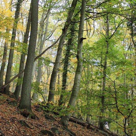 Eichenwald am Nonnenstromberg