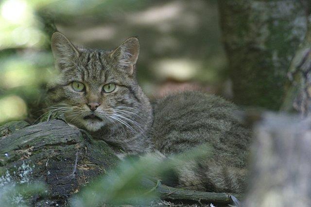 Wildkatze (Felis silvestris) ©piclease/G.Pauluhn
