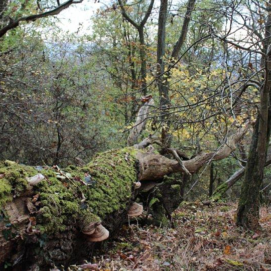 Totholz am Nonnenstromberg