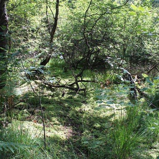 Torfmoosreiche Bruchwälder in der Komper Heide