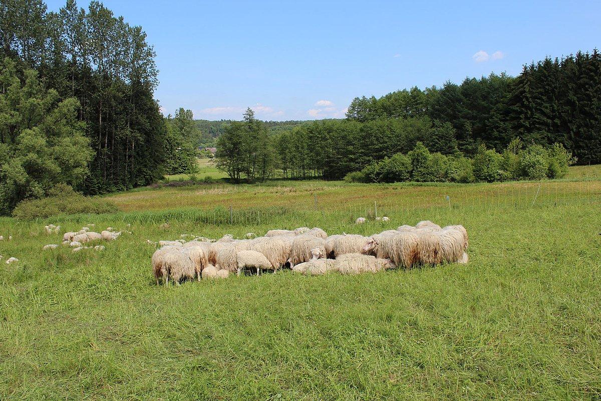 Dreisel Schafbeweidung