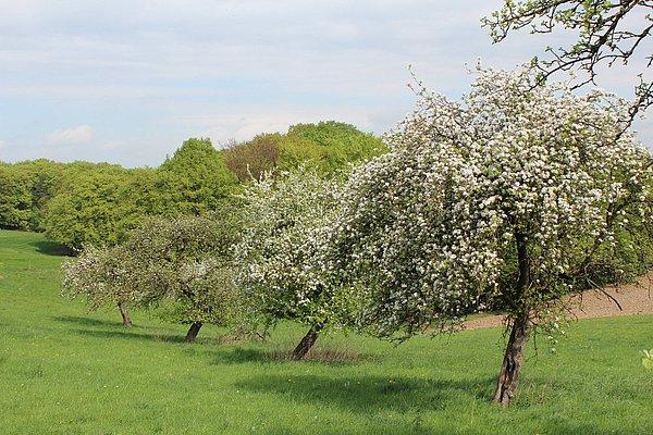 Obstblütenwanderung auf dem Streuobstweg in Hennef