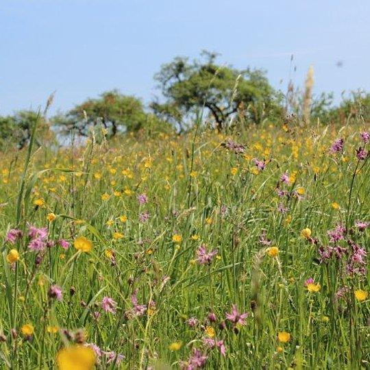 Artenreiche Frischwiesen westlich Dreisel